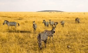 Zebra herd on the Mara - photo by Simon McNorton